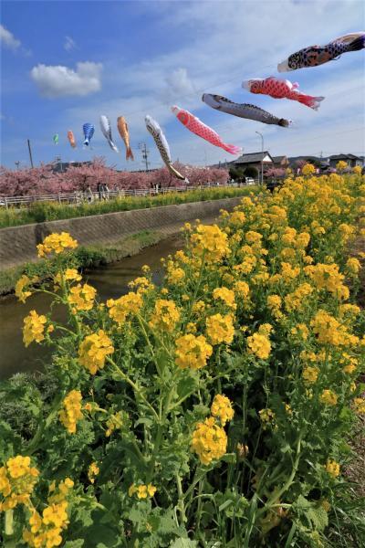 春風に舞う鯉のぼりと河津桜と菜の花の最強タッグで、免免田川は春の装い♪