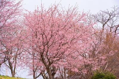 風土記の丘の寒桜 2021