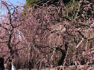 京都 城南宮 満開のしだれ梅を見に行く