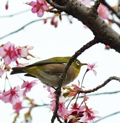 Japan 小平グリーンロード 小平ふるさと村 河津桜とメジロとお雛さま ~ミツバチばあやの冒険~