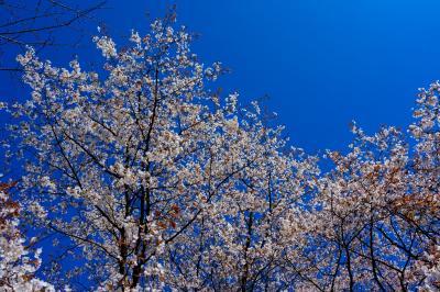 光岡城の山桜 2021