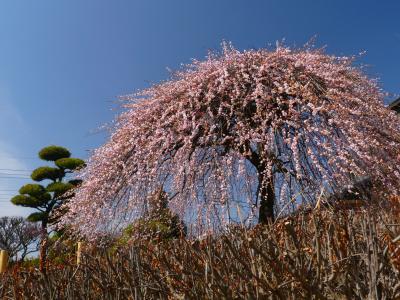 「朝日森天満宮」のウメ_2021_見頃継続中、枝垂れ梅は見頃過ぎ(栃木県・佐野市)
