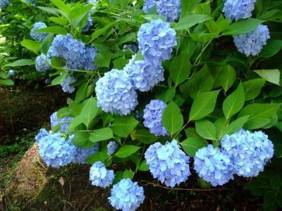 2013年6月 紫陽花を観に生駒山へ
