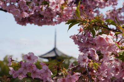 20210308-2 京都 東寺まで早咲き桜を観に行ったら…京の冬の旅始まってまして…