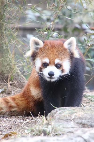 午後からでも埼玉こども動物自然公園~起きてるコアラとクオッカに会えずとも~見た目と反対な性格のレッサーパンダ兄弟やフェネックの子供や子牛ほか