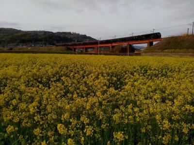2021年春、JRの八坂川鉄橋土手は菜の花咲かずとも周辺の畑は今年初めて菜の花が満開に咲き「ななつ星」も走りました!(*^-^*)!