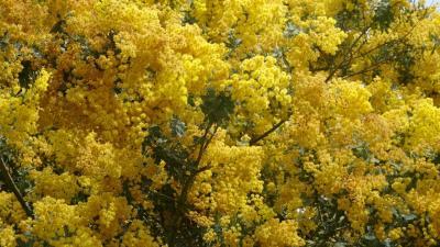 豊中市少路の苗🈨に咲く、ミモザの花を見に出かけました その1。