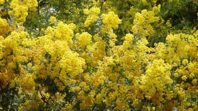 豊中市少路の苗🈨に咲く、ミモザの花を見に出かけました その2。