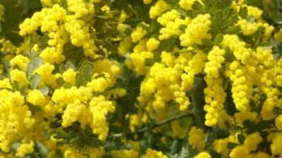 豊中市少路の苗🈨に咲く、ミモザの花を見に出かけました その3。