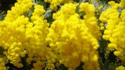 豊中市少路の苗🈨に咲く、ミモザの花を見に出かけました その4完。