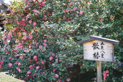 20210311-4 京都 地蔵院、椿寺の五色八重散椿