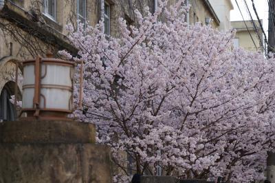 20210311-5 京都 成徳学舎の早咲き桜、春めき
