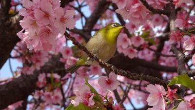 伊丹郵便局へ行った帰りに、昆陽南公園の河津桜を見てきました 中巻。