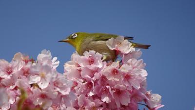 伊丹郵便局へ行った帰りに、昆陽南公園の河津桜を見てきました 下巻。