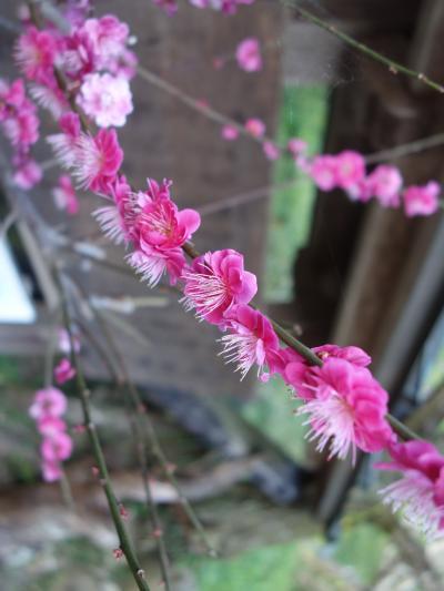 月ヶ瀬梅渓で梅を愛でる。山の上から名張川を見下す絶景を背景に。