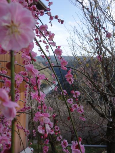 月ヶ瀬梅渓のビュースポットは,一目八景,帆浦梅林そして天神梅林。傾斜地の梅林です。