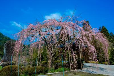 真浄寺の枝垂れ桜 2021