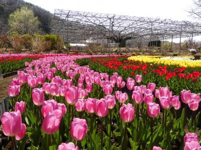「あしかがフラワーパーク」のチューリップ_2021_綺麗に咲き揃っています(栃木県・足利市)