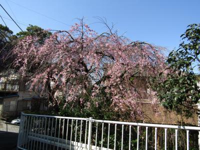 早咲きの枝垂れ桜が3部咲きです