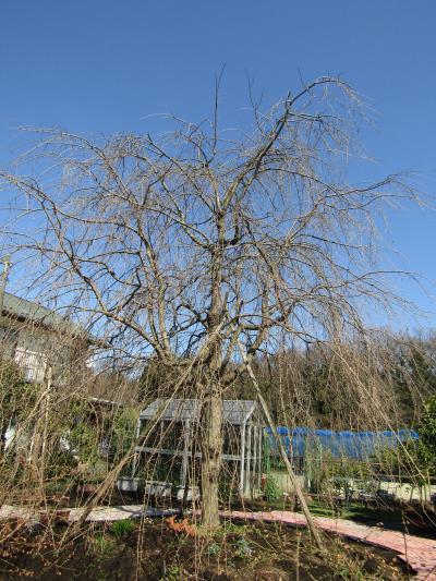 今年見付けた三枚畑の枝垂れ桜はまだまだ蕾です
