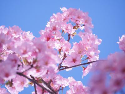 2021年3月14日<千鳥ヶ淵と靖国神社の山桜(ソメイヨシノはまだ蕾)>
