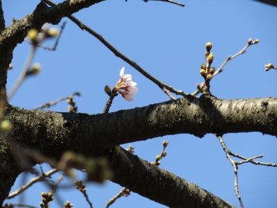 柏尾川のソメイヨシノの開花はまだまだです-2021年