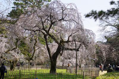 20210315-1 京都 京都御苑花便りかな?枝垂れ桜に、桃林に、木蓮も見事