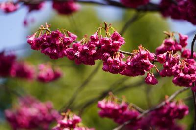 20210315-2 京都 出町の長徳寺では、主役がおかめ桜から寒緋桜に交代かも
