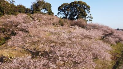 知多市大興寺の四季桜 春の方が見事です