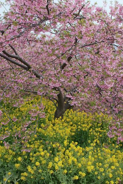 高松山から富士を眺望~松田の河津桜と葉の花の競演