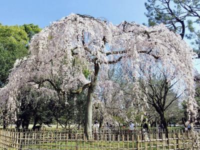3月 京都御苑と桜