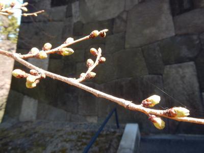 霞が関の桜前線異常なし