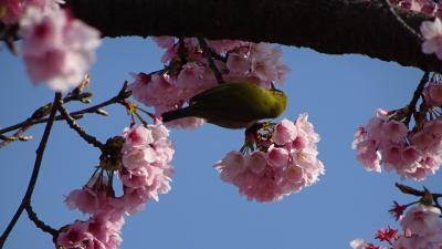 淡墨桜の開花を確認に、清荒神清澄寺に参拝しました その2。