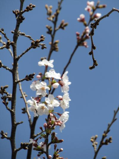 柏尾川のソメイヨシノの開花はまだです-2021年