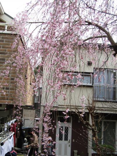 早咲きの枝垂れ桜が見頃です