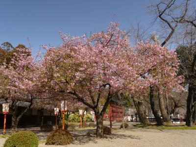 「世良田東照宮」の河津桜_2021(2)_花は残っていますが、葉が増えました。(群馬県・太田市)