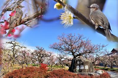 2021 安八百梅園(梅の種類の多さは、全国でも2番目)