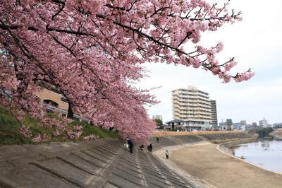 あたり一面に春色に染まった、岡崎乙川べりに咲く葵桜♪
