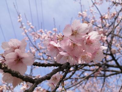 '21 埼玉桜さんぽ 北浅羽桜堤公園の安行寒桜&池袋のフォーティントーキョー