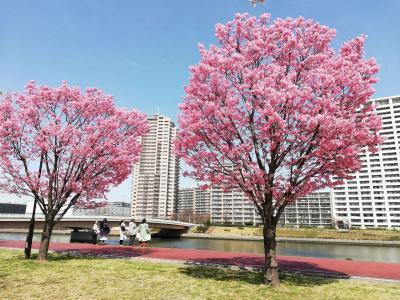 ちょつと早いお花見は陽光桜(汐入公園)2021