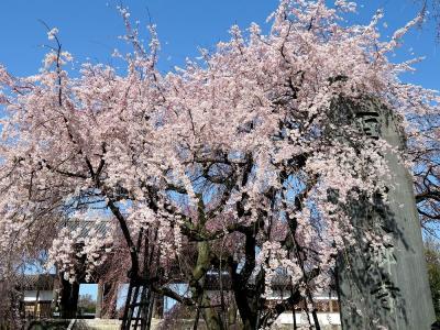 2021年桜だより速報・東京府中市東郷寺の枝垂桜