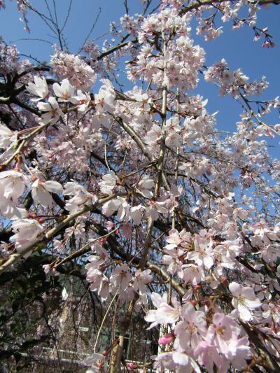 早咲きの枝垂れ桜が満開です
