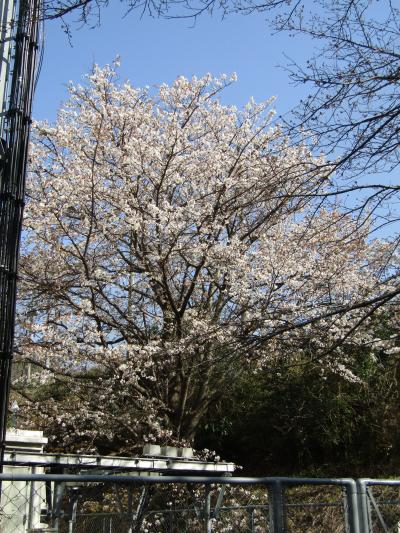 山桜は散り始めです