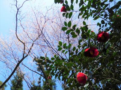 2021年3月 山口県・山陽小野田市 江汐公園の椿まつり。桜が1本満開でした。