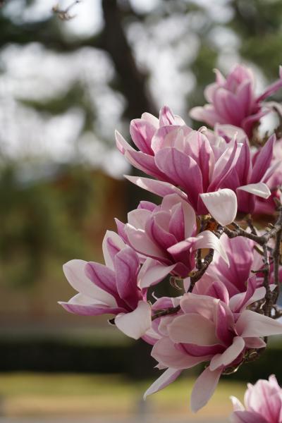 20210317-4 京都 中一日で再びの京都御苑。また枝垂れ桜の花見ですな。