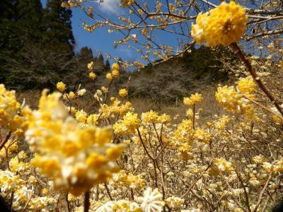 「梅田湖ロウバイパーク」のミツマタ_2021_咲き始めました(群馬県・桐生市)