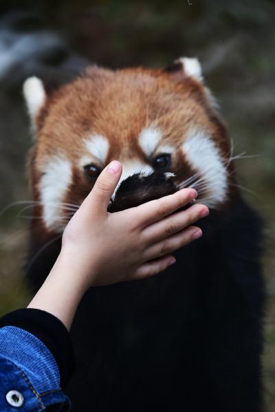 レッサーパンダはかわゆい !!! 到津の森公園