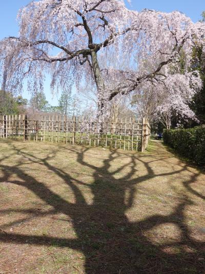 御苑の南区画にある枝垂桜も見ごろを迎えました。この桜は早咲きです。