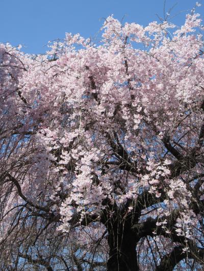 2021小手指のしだれ桜・ポトマック桜 開花情報 (最終回)