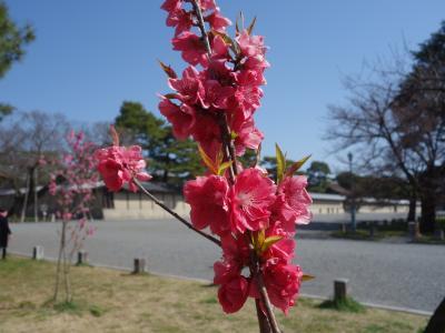 御苑の桃林も花盛りです。